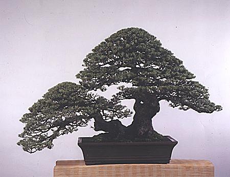 松树盆景 盆景奇石 中国园林网 -松树盆景