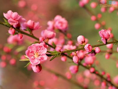 已开花的梅树,整形修剪应在花后进行,其原则是先从基部强度修剪内膛枝