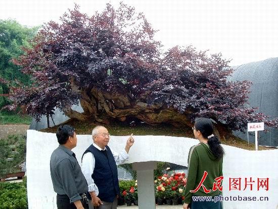 新鲜事:罕见红花檵木盆景亮相镇江(图)