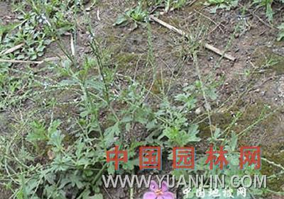 马鞭草 紫顶龙芽草、野荆芥、龙芽草、凤颈草、蜻蜓草、退血草、燕尾草