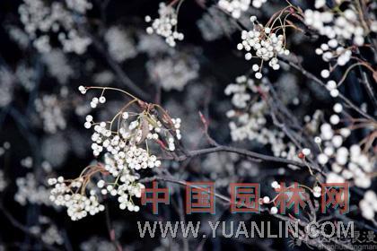白果花楸 北京花楸