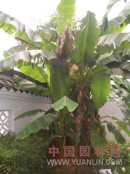 芭蕉 绿天、扇仙
