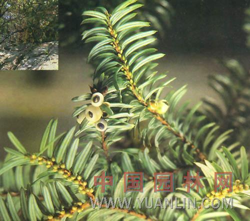 白豆杉 短水松