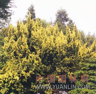 矮生欧洲紫杉