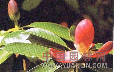 红花木莲百科