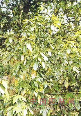 楠木叶子矢量图