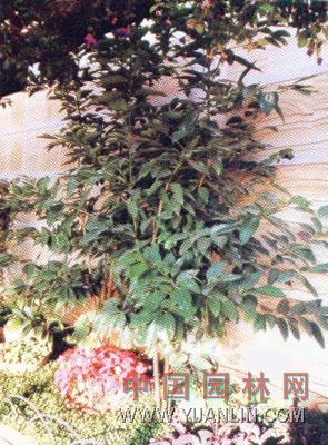 肉桂 Cinnamomun cassia Presl