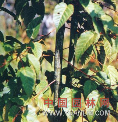 青窄槭 青虾槭