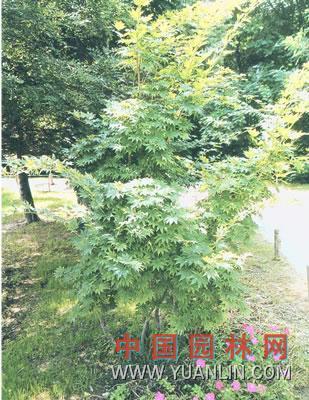 假色槭 紫花槭  九角枫