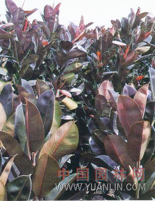 紫叶橡皮树