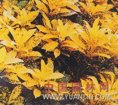 洒金变叶木