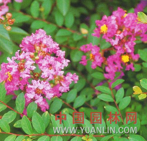 矮紫薇 百日红、满堂红、小痒痒树