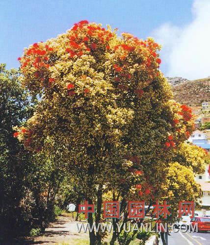 花叶铁心树