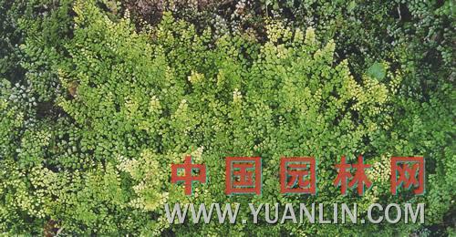 海金沙 金沙藤、左转藤、竹园荽、海金沙草、海金沙藤等