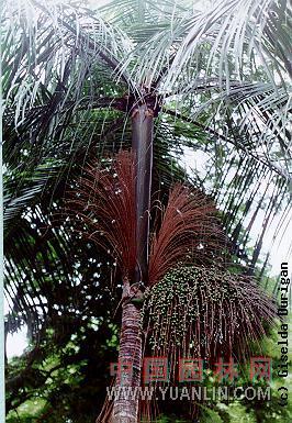 阿沙依椰子  可食埃塔棕