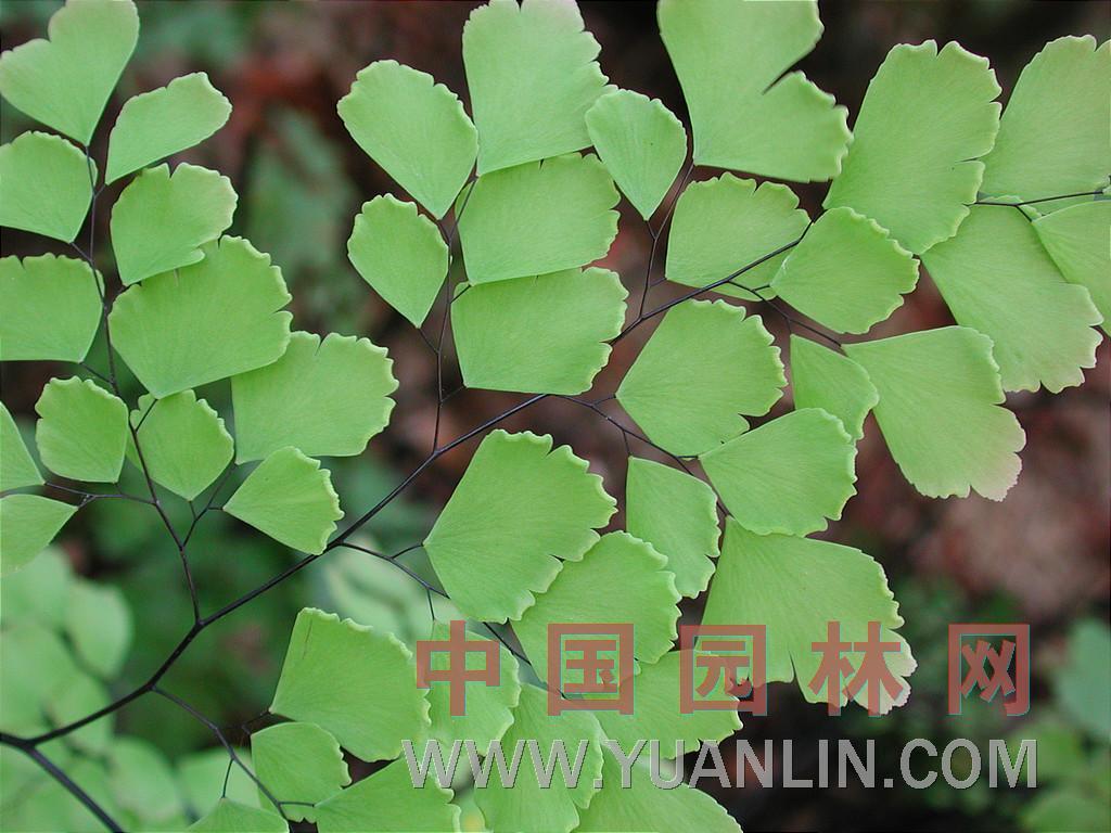 毛古卵_铁线蕨 - 植物库 - 中国园林网