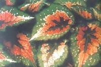 彩叶秋海棠 红脉秋海棠、绒叶秋海棠