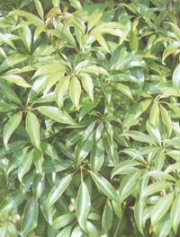 科�9��n/y�.��l_鹅掌藤-植物库-中国园林网