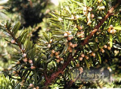 矮紫杉 矮丛紫杉、枷罗木