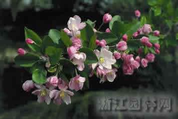 槭叶秋海棠 双蕊海棠