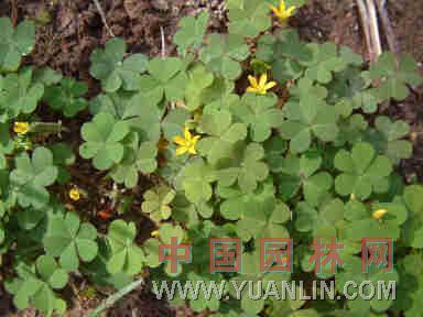 酢浆草 盐酸仔草(台湾)、酸箕、三叶酸草、酸母草、鸠酸草
