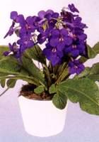 海角樱草 大旋果花、杂种扭果苣苔