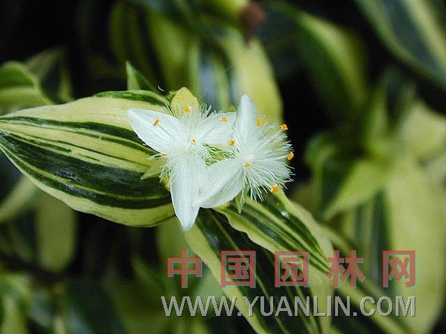 白花水竹草