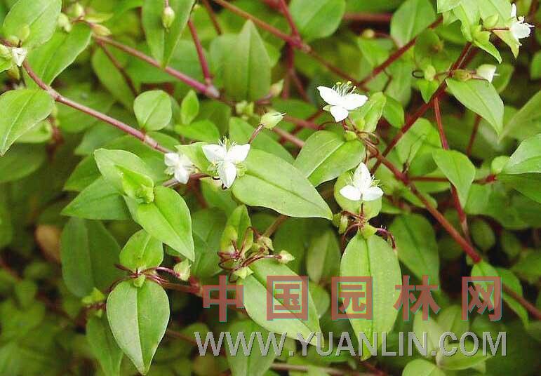 白花紫露草  淡竹叶、白花紫鸭跖草