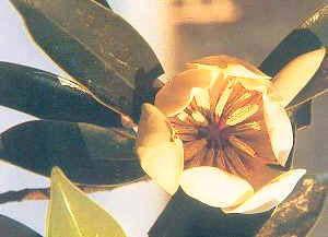 乐东拟单性木兰