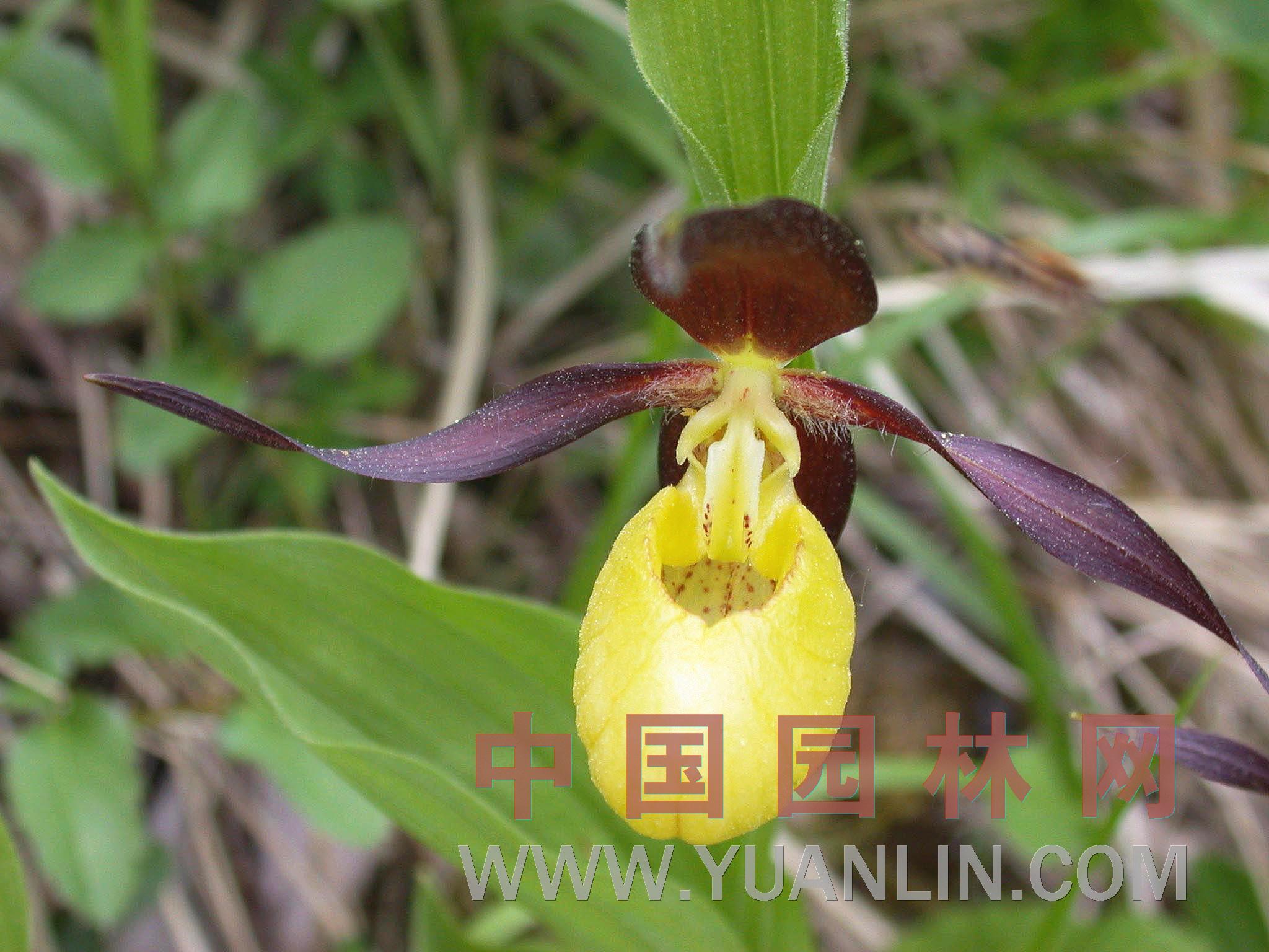 杓兰 紫花杓兰