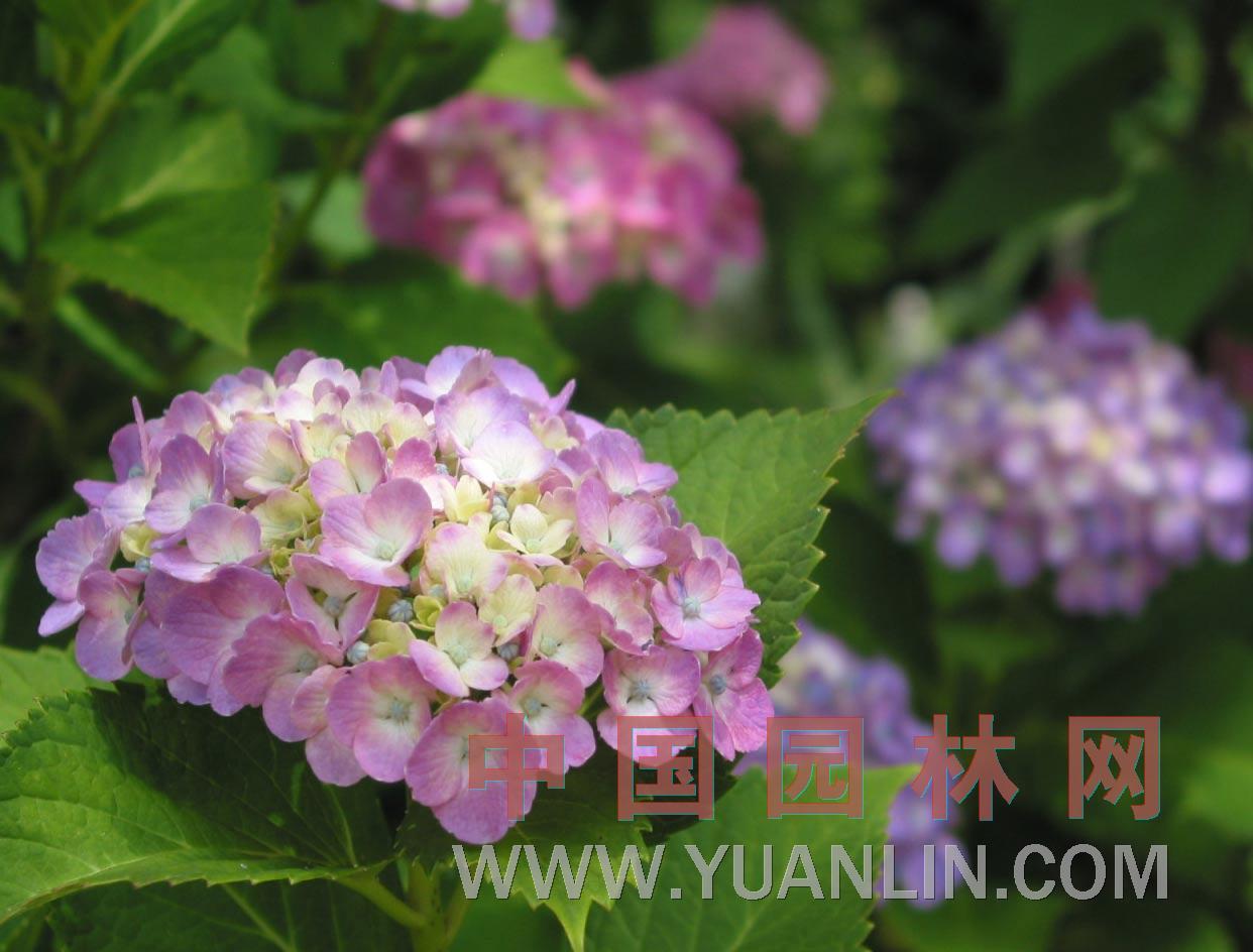 八仙花 绣球花