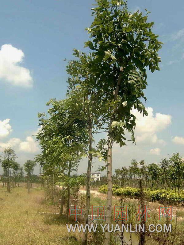 腊肠树 牛角树http