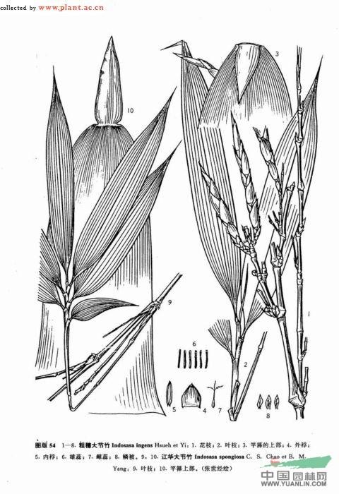 粗穗大节竹