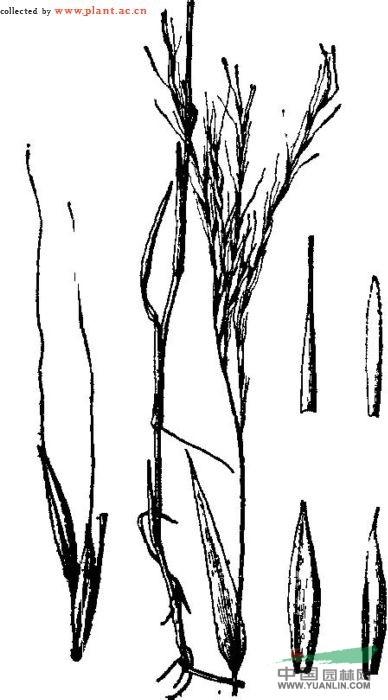 竹叶 刻 笔 矢量图