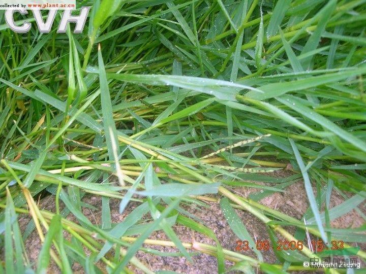 禾本科 雀稗属 双穗雀稗  种  名: 学   名:paspalum paspaloides