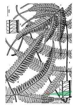 平羽凤尾蕨(原变种)