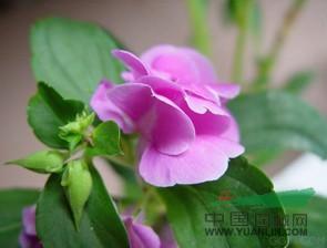 安徽凤仙花