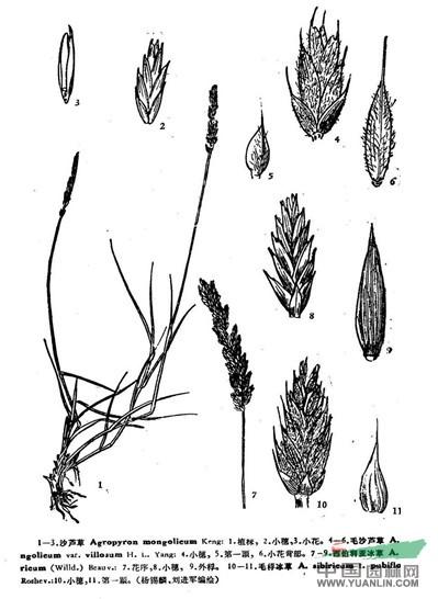 西伯利亚冰草(原变型)