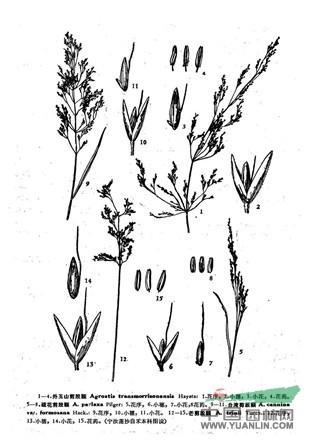 外玉山剪股颖(原变种)