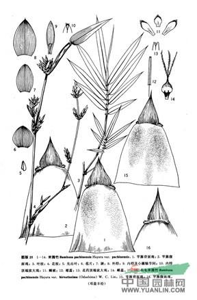 米筛竹(原变种)
