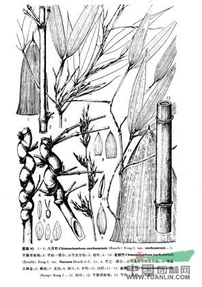 八月竹(原变种)
