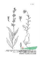 藏滇风铃草