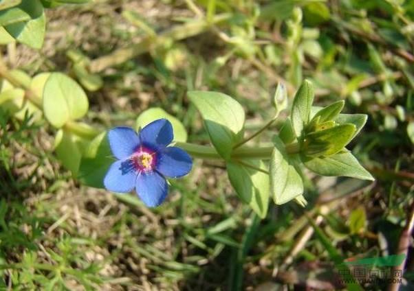 紫斑蝴蝶草