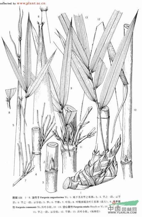 素描竹子简笔画步骤