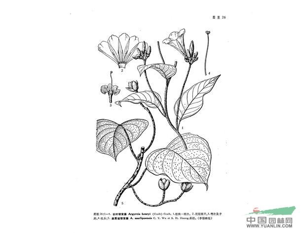 藤类植物简笔画_蔓藤画