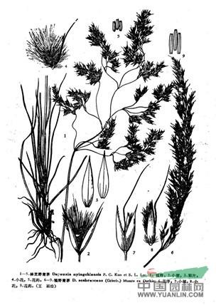 糙野青茅(原变种)