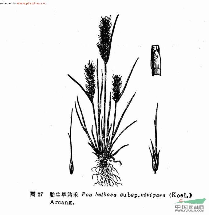 胎生鳞茎早熟禾