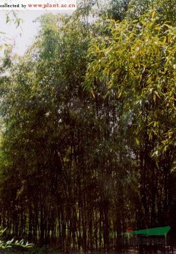 富阳乌哺鸡竹