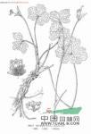 皱叶变豆菜