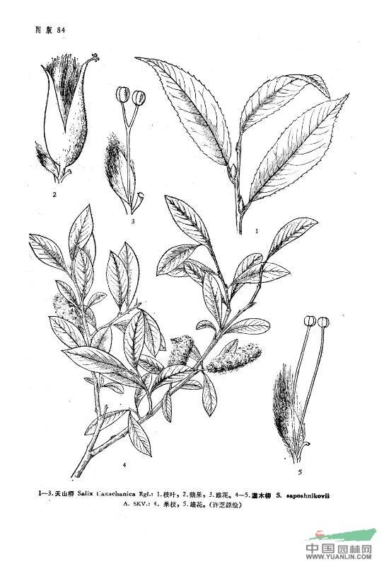 矮灌木丛手绘立面图
